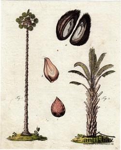 34. Kézzel Színezett rézmetszet. Palmíra pálma és rafiapálma